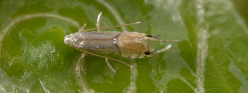 citrus leafminer adult and damage caused
