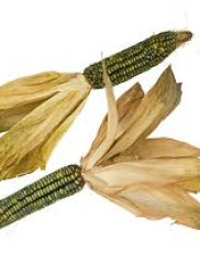 Sweet Corn – Zea mays