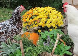 herbs for chickens