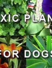 10 Poisonous Plants for your Dog