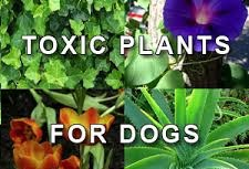 Toxic plants for your dog